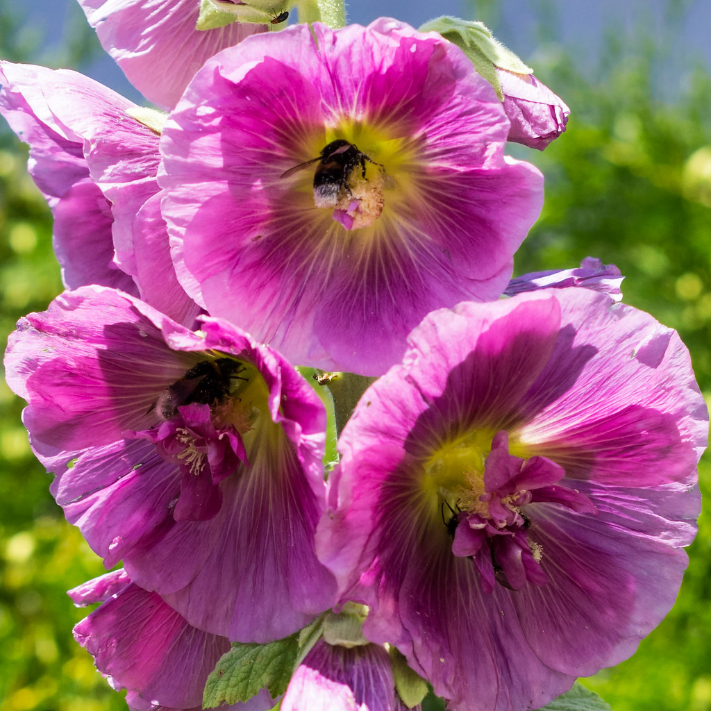 Stockrose / Alcea rosea / Hollyhook